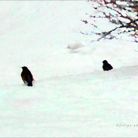 American Robin in Snow, Vermont © Felipe Adan Lerma