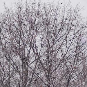 American Robins in Tree © felipe adan lerma