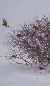American Robins Cropped Outtake © felipe adan lerma