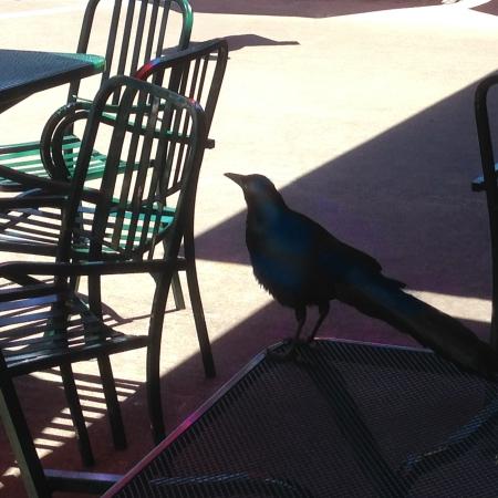 Black Bird At Central Market * ©Felipe Adan Lerma * All Rights Reserved