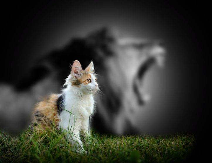 49212313 - small cat with big angry male lion shadow