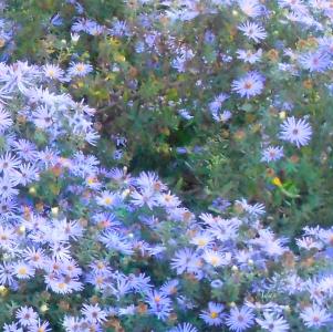 White Blue Custer Square ©Felipe Adan Lerma - available at Fine Art America https://fineartamerica.com/featured/white-blue-cluster-square-felipe-adan-lerma.html . Image captured at Lady Bird Johnson Metropolitan Park, Fredericksburg Texas.