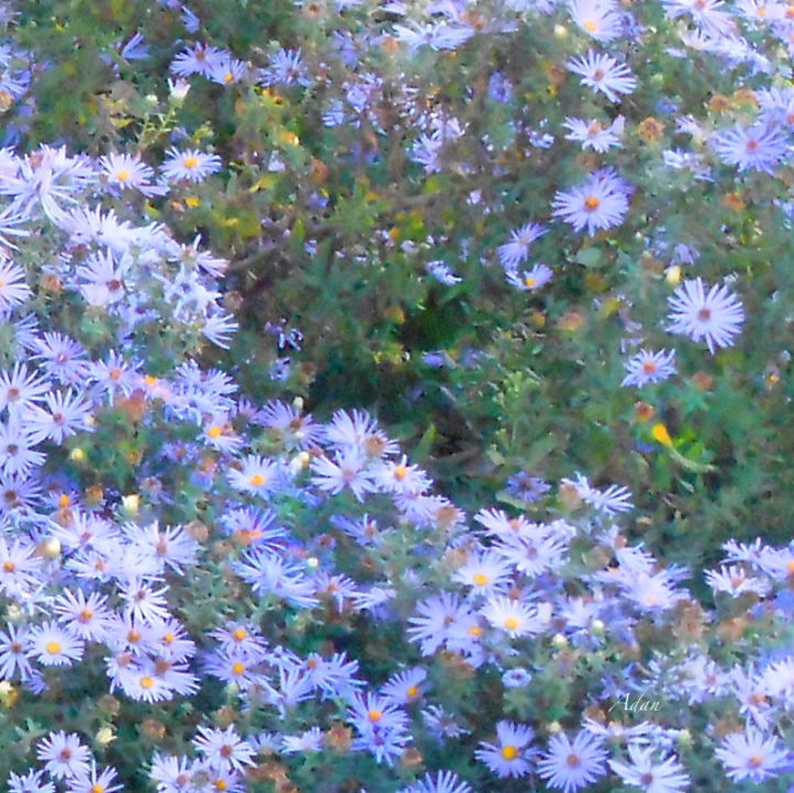 White Blue Custer Square ©Felipe Adan Lerma - available at Fine Art America https://fineartamerica.com/featured/white-blue-cluster-square-felipe-adan-lerma.html . Image captured at Lady Bird Johnson Metropolitan Park, Fredericksburg Texas.
