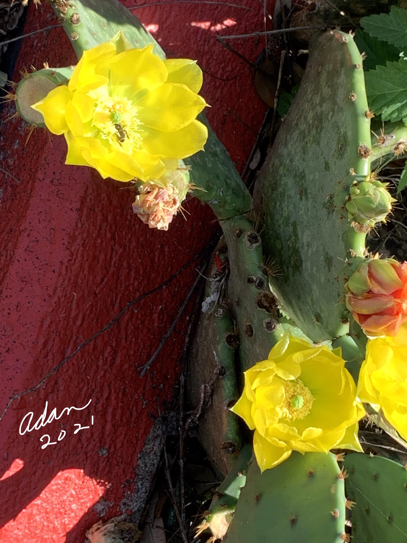 Random (sorta) Pic of the Day 05.06.21 ©Felipe Adan Lerma Cactus Flowers