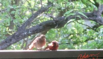 Random (sorta) Pic of the Day 05.14.21 ©Felipe Adan Lerma First Bird to Visit Our New Balcony Brings a Friend